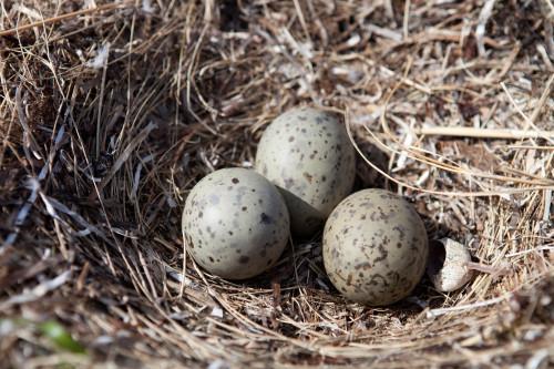 seagull eggs2