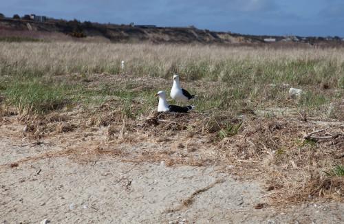 seagull mates