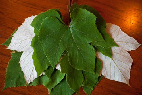 grape leaves 3